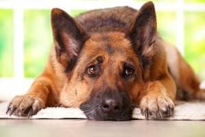 Picture of a German Shepherd dog looking anxious when left home alone